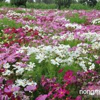 波斯菊种子,金鸡菊种子,黑心菊种子,石竹种子