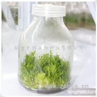 吊兰 铁皮石斛苗 组培苗 瓶苗 品种优良
