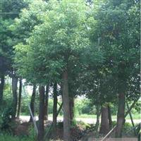 梧桐树、梧桐树价格、低价梧桐、绿化树梧桐