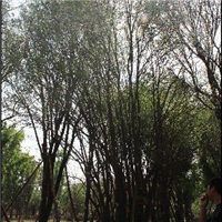 茶条槭、蒙古栎、五角枫、、、