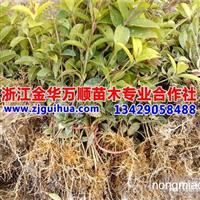 浙江绿化苗木、桂花小苗、金桂树苗