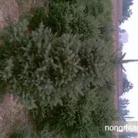 云杉2.5-3米,白皮1-2.5米,蜀侩2.5-3米