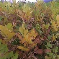 河南伏牛苗木提供优质苗木乌桕 白蜡 辛夷小苗