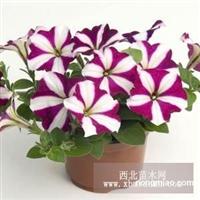 新疆花卉种子,草花种子,宿根花卉种子