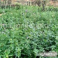 苏丹草、黑麦草、苜蓿草、高丹草、菊苣、串叶松香草