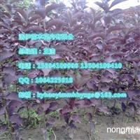辽宁金叶复叶槭实生扦插小苗
