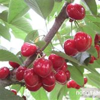新疆樱桃苗品种