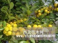 中华钙果种苗又名中华神果