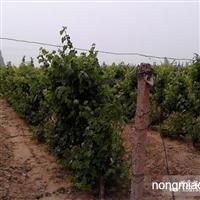 葡萄树、葡萄