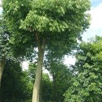 供应香樟,栾树,重阳木等各类苗木,价格优廉
