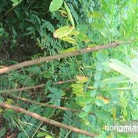 供应1~3米高刺槐
