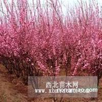 河北石家庄藁城南洼绿化苗木哪有供应大量榆叶梅价格合理便宜优惠