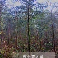 实生国槐杆直米径2厘米高3-5米20000棵