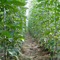 实生白蜡米径2-3厘米142亩