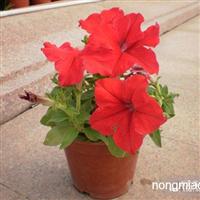 黑龙江花卉种子,花卉种子价格,花卉种子批发