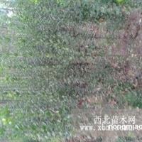 楸树、金叶榆、北海道黄杨、石榴、梓树小苗、复叶槭。