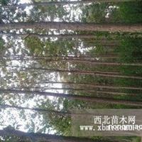 楸树 、复叶槭、金叶榆、北海道黄杨
