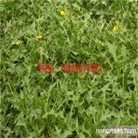 野菜种子 蒲公英种子 婆婆丁种子 药材蒲公英蔬菜种子
