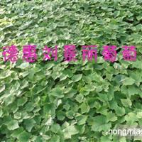 出售葡萄苗厂家-黑龙江葡萄苗价格