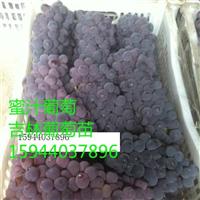 吉林德惠刘景丽葡萄苗繁育基地出售蜜汁葡萄苗着色香葡萄苗