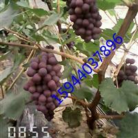 出售夏黑嫁接葡萄苗基地、优质夏黑葡萄苗厂家
