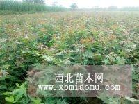 大量出售五角枫苗木 1-2年五角枫苗
