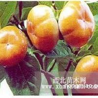 丰收园艺的小木槿苗