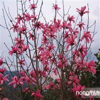 湖北珍稀红花玉兰苗木