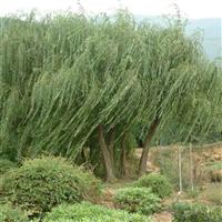 大小垂柳树苗