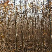 2公分五角枫5万棵,高度2.5米。