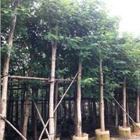 10-20铁刀木
