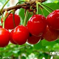 红灯大樱桃苗产量高,辽宁红灯大樱桃苗专业培育