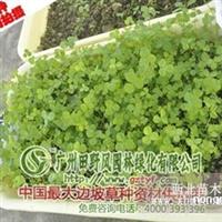 供应耐酸、耐旱的生态草坪草种―白三叶