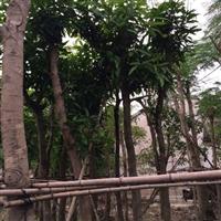 广东,广西10公分芒果树袋苗12公分芒果树袋苗就找叶泰花木场