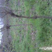8-10腊梅树