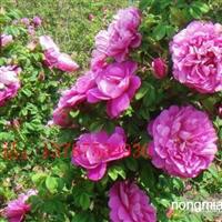 药用玫瑰苗全国较低价销售保证质量纯度