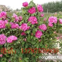 大量供应丰花一号玫瑰种苗