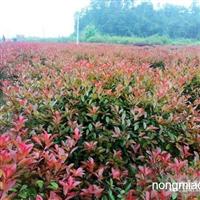 销售红叶石楠、香樟树、桂花树、银杏树