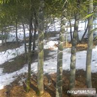 安吉竹盛供应龟甲竹等近百种绿化竹苗