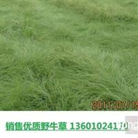 长期供应优质野牛草