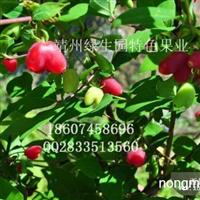 珍奇水果相思果苗供应