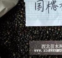 国槐种子价格,国槐树种子价格