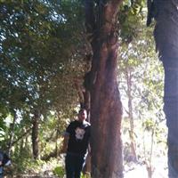 福建芒果树广西芒果树