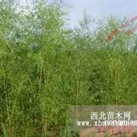 白桦6-8cm