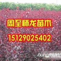 紫叶矮樱营养钵苗10万,高山黄杨10万