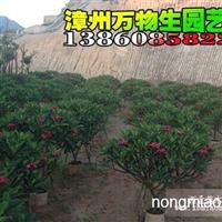 广东鸡蛋花,中山鸡蛋花,福州鸡蛋花,厦门鸡蛋花