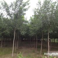 北京通州供应白蜡树种