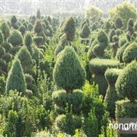 北京华源发大量供应造型桧柏