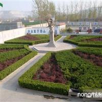 青州绿化苗木|天亿良友绿化小苗|承接绿化工程
