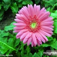 长期供应鲜切花 非洲菊 产品品种丰富